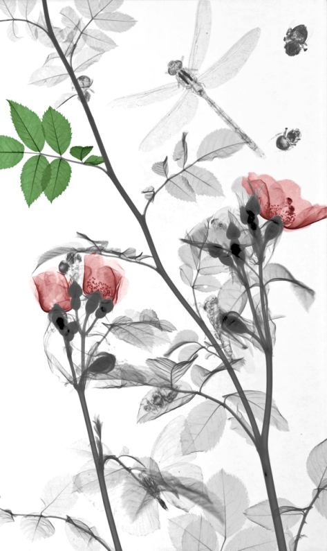 Dragonfly, Wild Roses