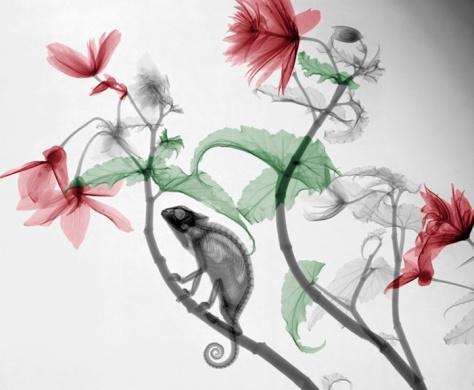 Chameleon, hanging begonia