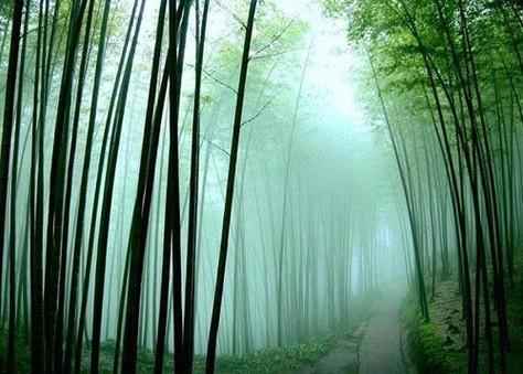 Bamboo_Forest-Sichuan